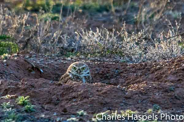 Burrowing owls are often seen during the Birding Festival