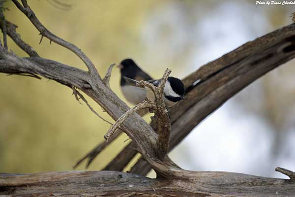 A chickadee seen during the Birding Festival
