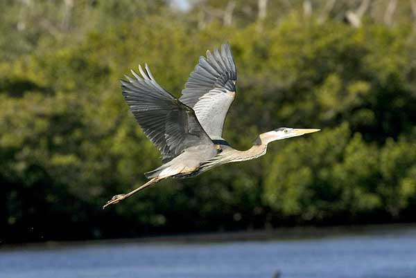 A Great Blue Heron in flight